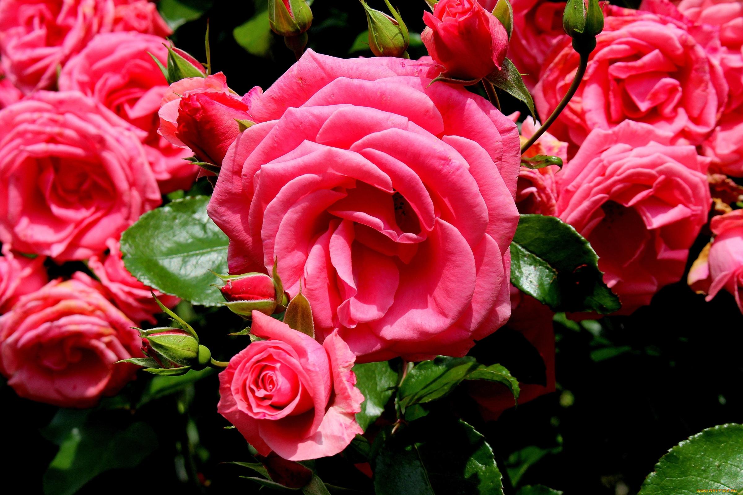 картинки цветов роз на компьютер назовёшь, точно